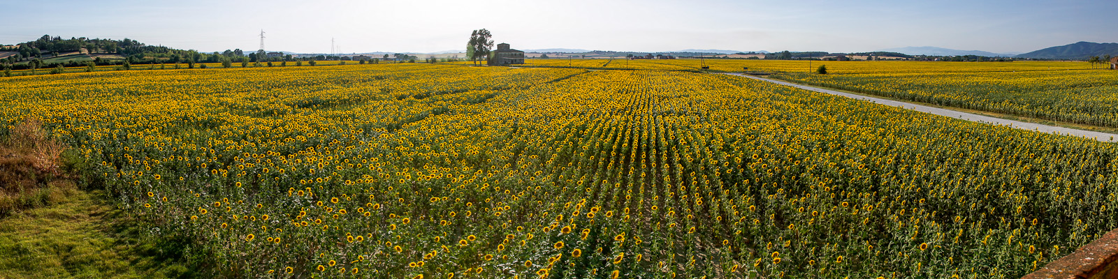 The valley is blanketed with sunflowers during the early summer