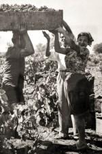 Contadini (farm peasants) working the Ciu Ciu vineyards during harvest time.